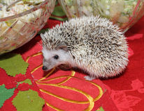 Hedgehog on a dining table Royalty Free Stock Photo