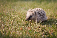 Hedgehog do bebê fotografia de stock
