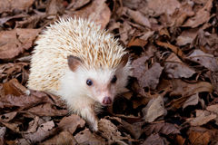 Hedgehog do pigmeu