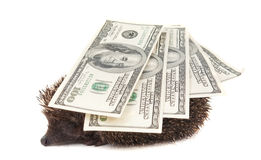 Hedgehog of dollars Royalty Free Stock Images