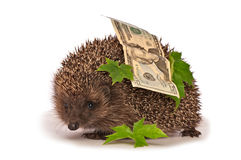 Hedgehog with dollars profit. The hedgehog in motion hastens home from the bank carrying percent hundred dollars profit Stock Photo