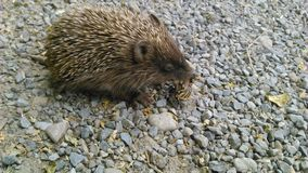 Hedgehog, Domesticated Hedgehog, Fauna, Mammal Royalty Free Stock Photo
