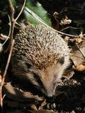 Hedgehog, Domesticated Hedgehog, Monotreme, Erinaceidae Royalty Free Stock Photography