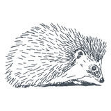 Hedgehog drawing. Hedgehog sketch drawing isolated on white background Stock Image