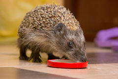 Hedgehog drinking milk with caps Royalty Free Stock Photography