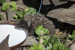 Hedgehog drinking milk Royalty Free Stock Images
