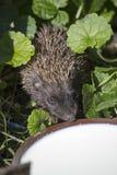 Hedgehog drinking milk Stock Photo