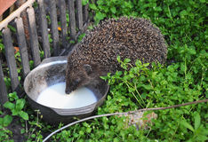 Hedgehog drinking milk in the garden. Attracting hedgehogs. Hedgehogs are lactose intolerant so please do not give them milk. Stock Photos
