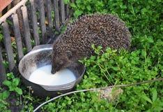 Hedgehog drinking milk in the garden. Attracting hedgehogs. Hedgehogs are lactose intolerant so please do not give them milk. Attracting hedgehogs. Hedgehogs Stock Photos
