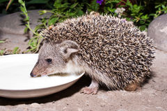 The hedgehog drinks milk Royalty Free Stock Images