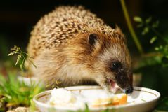 Hedgehog drinks milk Stock Image