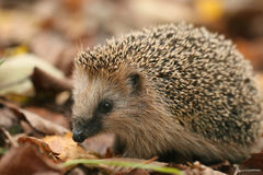 Hedgehog at dry autumn leaves Stock Images