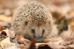 Hedgehog in dry  leaves Stock Image