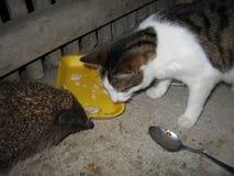 Hedgehog e gato imagens de stock royalty free