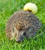 Hedgehog e maçã fotos de stock royalty free