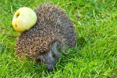 Hedgehog e maçã imagens de stock