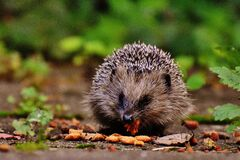 Hedgehog eating  Stock Images