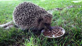 Hedgehog eating cat food. Hungry hedgehog eating cat food from a bowl in the back yard stock video footage