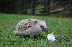 Hedgehog eating egg. Small hedgehog eating an egg in the grass Stock Photo