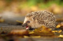 Hedgehog eating stock image