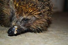 Hedgehog eats Stock Photography