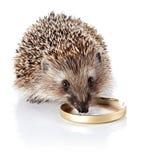 The hedgehog eats sour cream. Stock Image