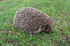 hedgehog stock fotografie