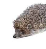 Hedgehog em um fundo branco Fotografia de Stock Royalty Free