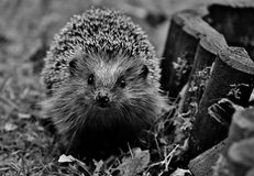 Hedgehog, Erinaceidae, Black And White, Domesticated Hedgehog Royalty Free Stock Images