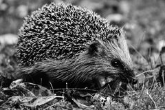 Hedgehog, Erinaceidae, Black And White, Domesticated Hedgehog Royalty Free Stock Image