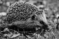 Hedgehog, Erinaceidae, Black And White, Domesticated Hedgehog royalty free stock image