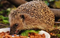 Hedgehog, Erinaceidae, Domesticated Hedgehog, Fauna Stock Image