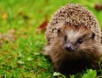 Hedgehog, Erinaceidae, Domesticated Hedgehog, Fauna Stock Photo
