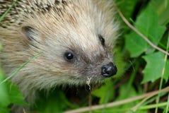 Hedgehog, Erinaceidae, Fauna, Domesticated Hedgehog Royalty Free Stock Photos