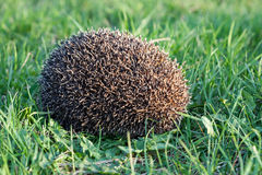 Hedgehog (Erinaceus europaeus) Royalty Free Stock Photo