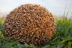 Hedgehog (Erinaceus europaeus) Stock Photography