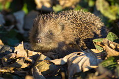 Hedgehog (erinaceus europaeus) Royalty Free Stock Images
