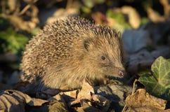 Hedgehog (erinaceus europaeus) Stock Photo