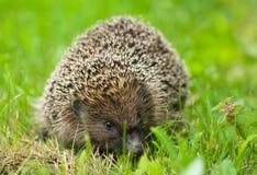 Hedgehog - Erinaceus europaeus Stock Image