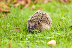 Hedgehog - Erinaceus europaeus Stock Photo