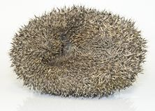 Hedgehog, Erinaceus Europaeus Stock Images