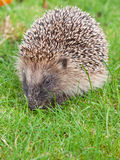 Hedgehog (Erinaceus europaeus) Royalty Free Stock Photography