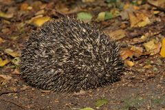 Hedgehog - Erinaceus europaeus Royalty Free Stock Image