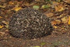 Hedgehog - Erinaceus europaeus Royalty Free Stock Image