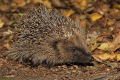 Hedgehog - Erinaceus europaeus Royalty Free Stock Photography