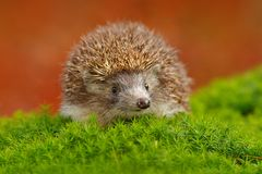 Hedgehog, Erinaceus europaeus, on a green moss at the forest, photo with wide angle. Hedgehog in dark wood, autumn image.Cute funn Stock Image