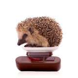 Hedgehog, Erinaceus europaeus, isolated Royalty Free Stock Photography