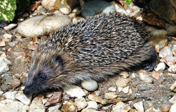 A hedgehog - Erinaceus europaeus Stock Photography