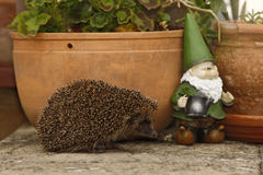 Hedgehog, Erinaceus europaeus Stock Photos