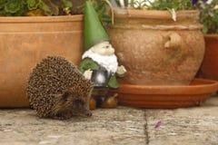 Hedgehog, Erinaceus europaeus Stock Images